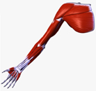 Upper Limb Diagrams