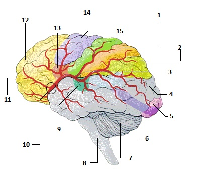Anatomy Brain Quiz Best Brain 2018