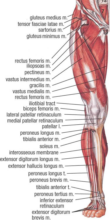 Muscles of lower limb anatomy