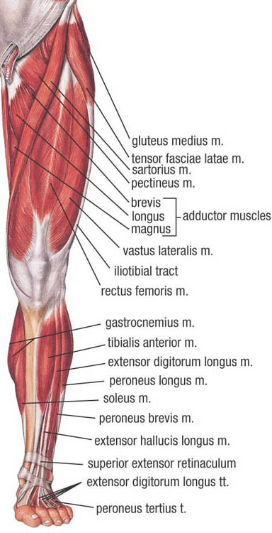 Muscles of Lower Extremity (Anterior Superficial view)