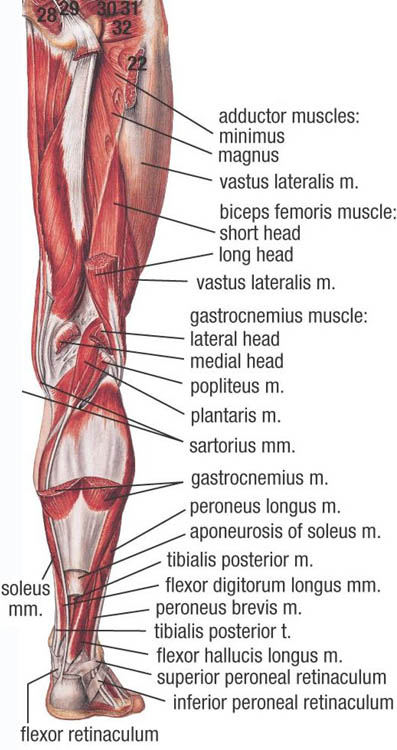 Muscles Of Lower Extremity Posterior Deep View