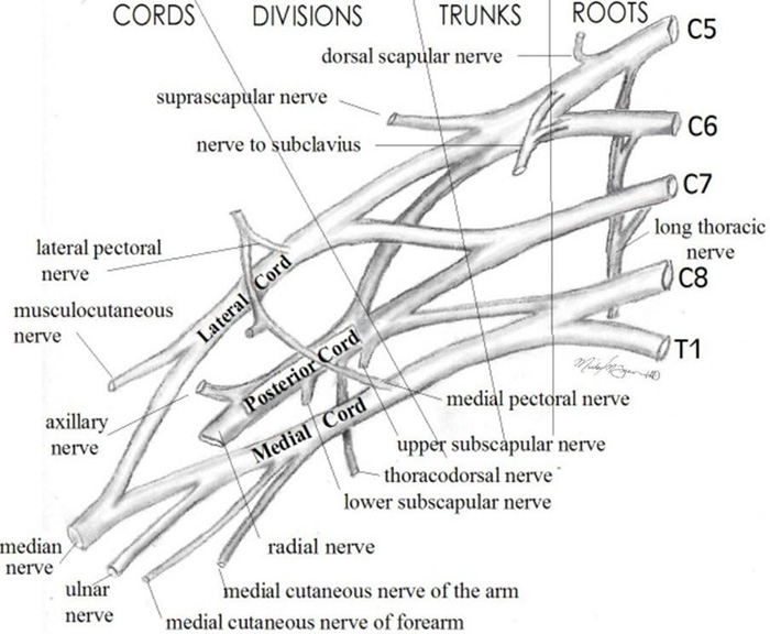 Brachial Plexus diagram: Nerves Trunks Divisions Branches Roots Cords Upper Lower Superior Anterior Suprascapular Medial Lateral Pectoral Dorsal Scapular Subscapular Long Thoracic Thoracodorsal Cutaneous Arm Forearm Subclavian