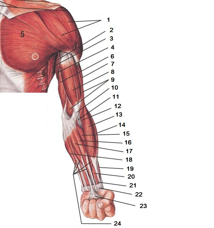 Muscles of Upper Extremity Quiz - Superficial Anterior