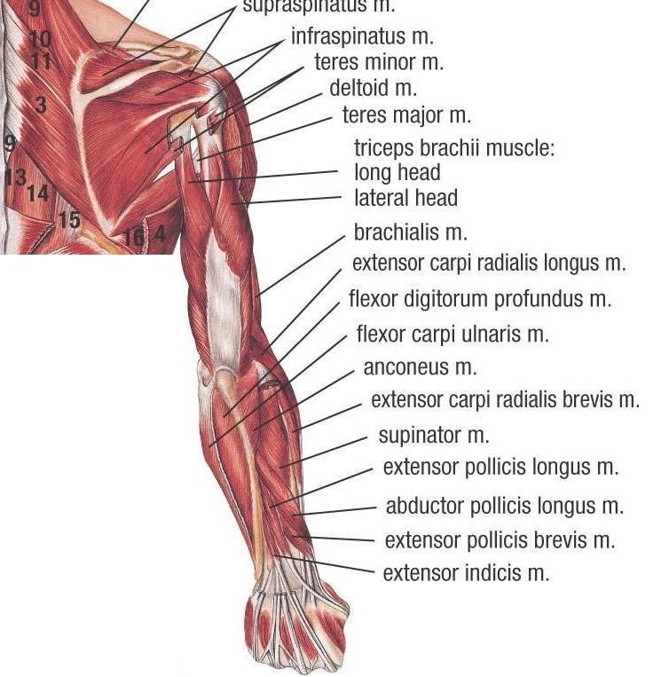 Muscles of Upper Extremity (Posterior Deep view)