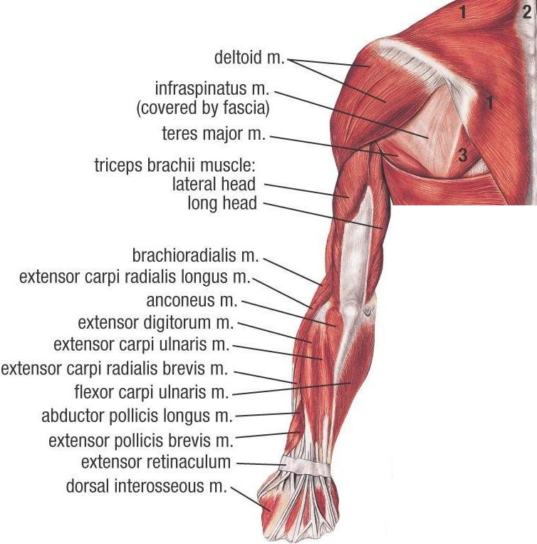 Muscles of Upper Extremity (Posterior Superficial view)