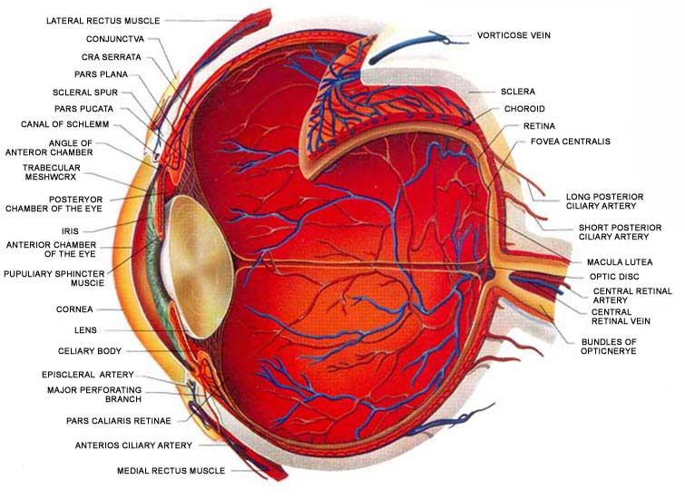 Basic anatomy of the eye