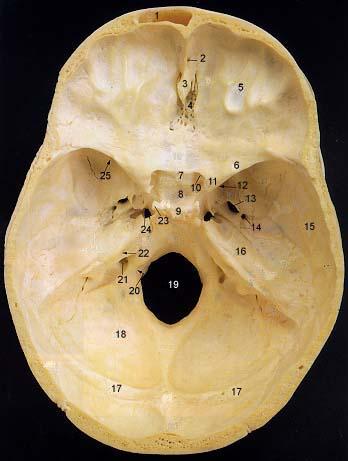 Internal skull anatomy